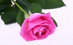 beautiful-pink-rose-3-1024x640